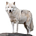 Large Arctic Wolf Graphic