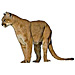 Large Cougar Graphic