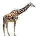 Medium Giraffe Graphic