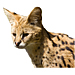 Large Serval Graphic